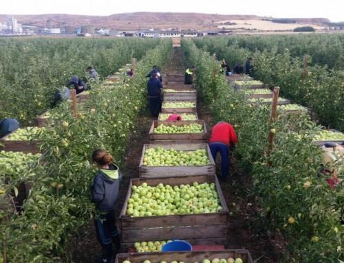 Collita de poma a Toro (Zamora)
